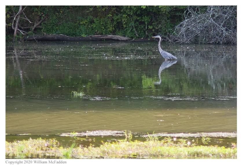 Ohio State Parks on the Air 2020 -- Blue Heron